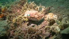 Orbicular burrfish Lembeh Strait Indonesia Stock Footage