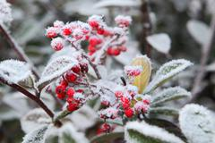 Berries under rime frost. piedmont, northern italy. Stock Photos