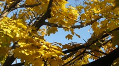 Yellow maple leaves on windy day 1255 Stock Footage