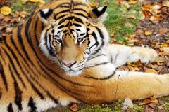 amur tiger on natural ground - stock photo