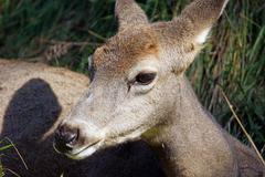 Female mule deer Kuvituskuvat