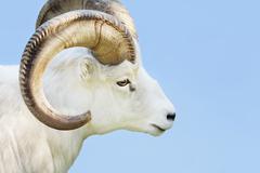 male dall sheep - stock photo