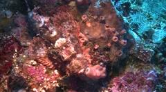 Tasseled scorpionfish Bunaken Indonesia Stock Footage