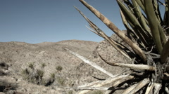 Yucca Plant, Cactus, Joshua Tree National Park Stock Footage