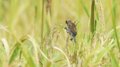Spotted munia bird in the paddy field Stock Footage