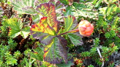 Berry cloudberry summer polar plant Stock Footage