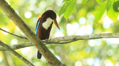 Beautiful white-throated kingfisher(Halcyon smyrnensis) Stock Footage