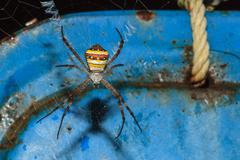 multi-coloured argiope spider, argiope versicolor - stock photo