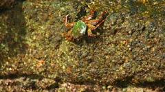 Stone crab Stock Footage