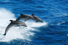 three dolphins - stock photo