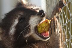 Raccoon eating apple ( procyon lotor ), image taken at the zoo on a tame anim Stock Photos