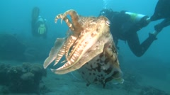 Broadclub cuttlefish Lembeh Strait Indonesia Stock Footage