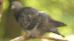 Pigeons on a branch Stock Footage