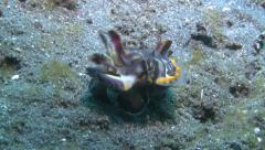 Pfeffer's flamboyant cuttlefish Lembeh Strait Indonesia Stock Footage