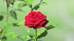 Lone Red Rose Sways in Wind 4k Stock Footage