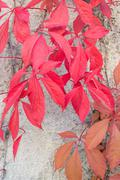 Red leaves Virginia Creepers - stock photo