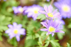 Anemone blanda - blue shades flower Stock Photos