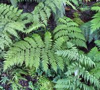 Stock Photo of Ferns