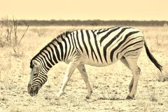 Zebra - Wildlife Background from Africa - Nature beauty and Animal Kingdom brill Stock Photos