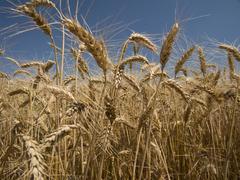 Wheat crop close-up Stock Photos