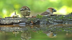 Hawfinch drinking water from forest pond and eating seeds.  Stock Footage