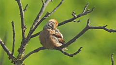 Hawfinch landed on a branch on top of the forest tree. Stock Footage