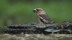 Hawfinches eating seeds under forest summer rain, Coccothraustes coccothraustes Stock Footage