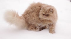 Persian cat prowling in snow Stock Footage