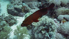 Vermilion Hind in the Red Sea Stock Footage