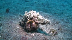 Hairy red hermit crab Lembeh Strait Indonesia Stock Footage
