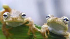 The Rosenberg's Gladiator-Frog Stock Footage