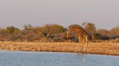 Giraffe drinking at the waterhole uhd 4k Stock Footage