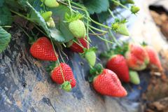 ripe strawberries growing on the vine in the field ready to be picked - stock photo