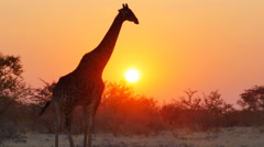 Stock Video Footage of giraffe walks through savanna at the sunset uhd 4k