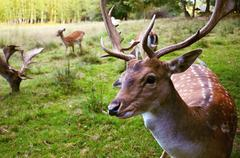 The European fallow deer detail of head with horns  - stock photo