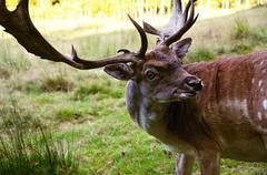 detail of head of european fallow deer dama dama  - stock photo