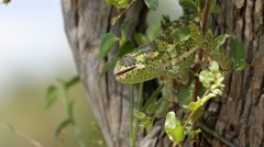 Chameleon looking out from a tree Stock Footage