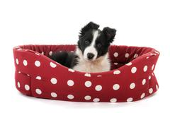 Stock Photo of border collie pup