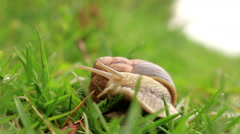 Burgundy snail (Helix pomatia) in the green grass Stock Footage
