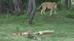Lions playing with their cubs Stock Footage