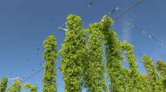 4K UHD HD Hops Cone ripe on plant Stock Footage