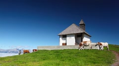 White and brown cows in the mountain pastures - stock footage