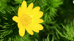 Beautiful yellow flowers of Adonis (Adonis vernalis) Stock Footage
