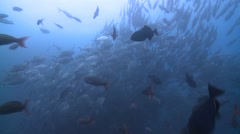 Bigeye trevally shoal Cocos Costa Rica Stock Footage
