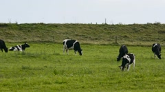 Cows on the dike Stock Footage