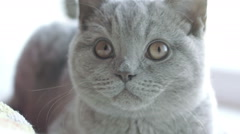 Gray handsome cat closely watching Stock Footage
