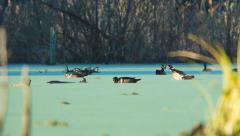 Wood Duck Drake Display Stock Footage