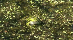 Frog sits on aquatic plants on the water surface in ditch - on camera Stock Footage