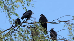 Crows settled on a tree branch Stock Footage