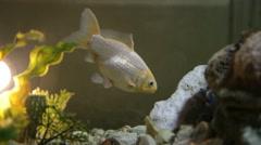 Award winning Gold fish eating, close-up Stock Footage